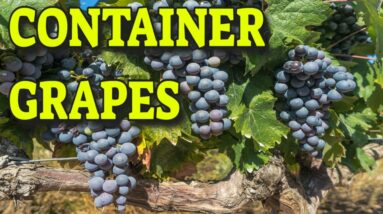 🍇GROWING GRAPES IN CONTAINERS 🍇 WHAT YOU NEED TO KNOW